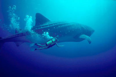 Dive with Giant Manta Rays and encounter Humpback Whales at ...